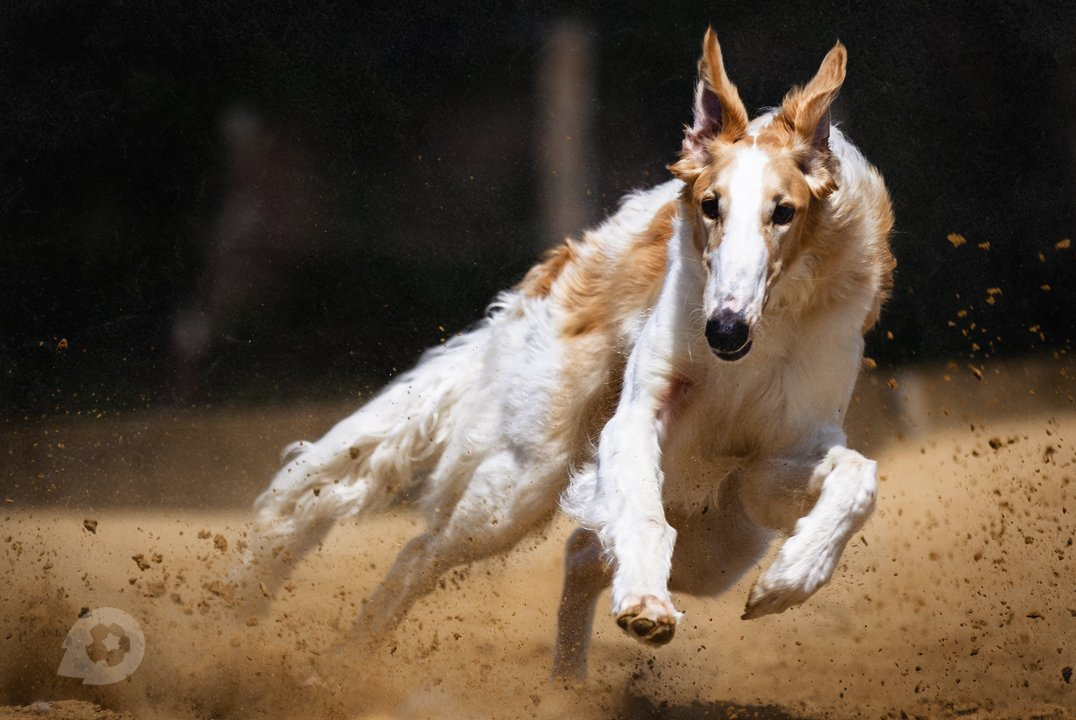 Как ставить на собачьи бега